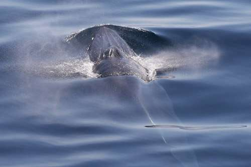Using sound and environmental DNA to find an elusive, endangered whale
