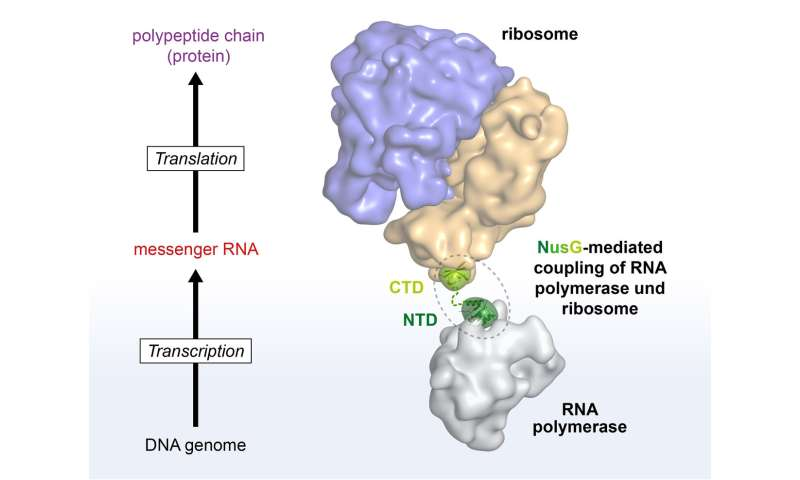 Researchers study protein biosynthesis in bacteria