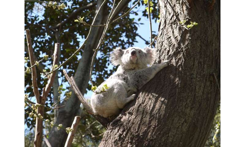Understanding long-term trends of stressors on koala populations