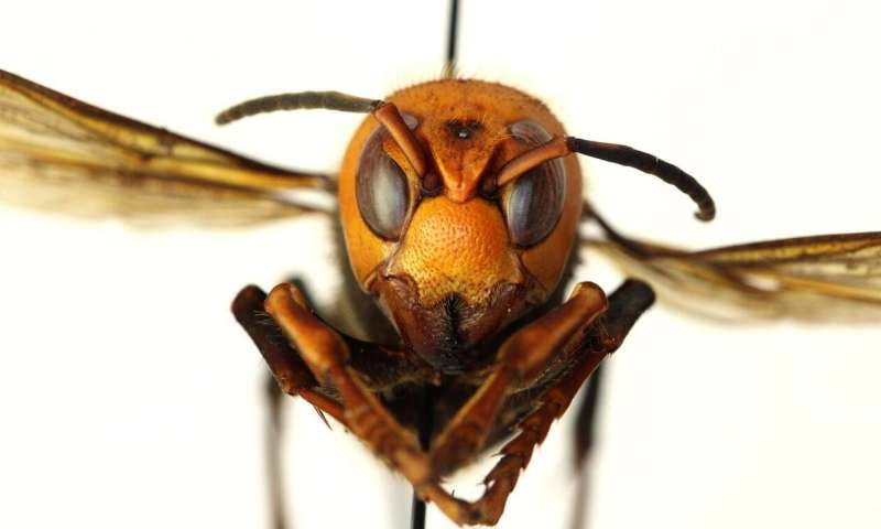 Scientists predict potential spread, habitat of invasive Asian giant hornet