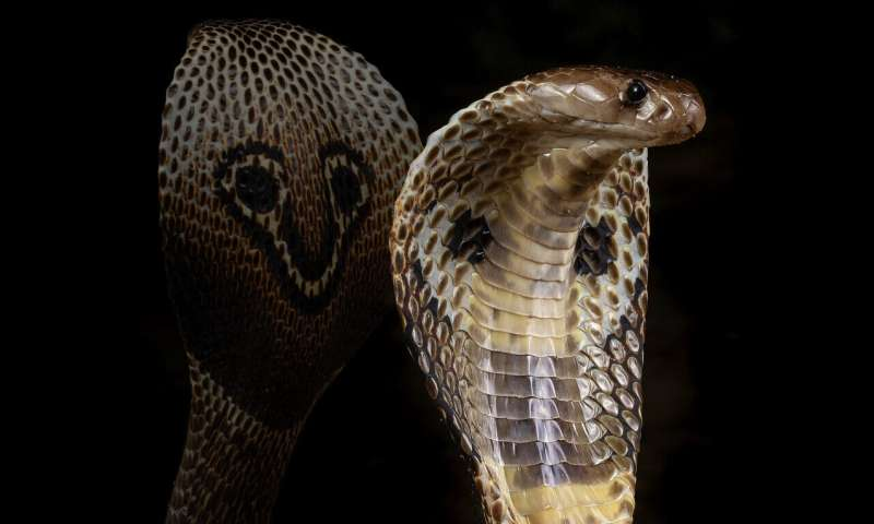 Indian cobra genome sequenced in search for new antivenom