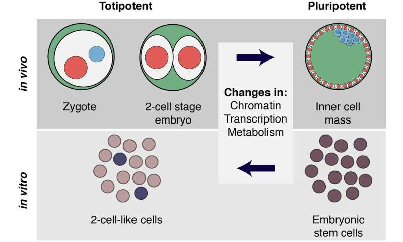 New ways to generate totipotent-like cells