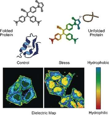 Molecular probe maps misfolded proteome state in live cells