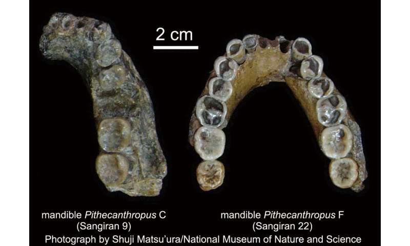 Dating of volcanic ash at Sangiran shows Homo erectus arrived later than thought