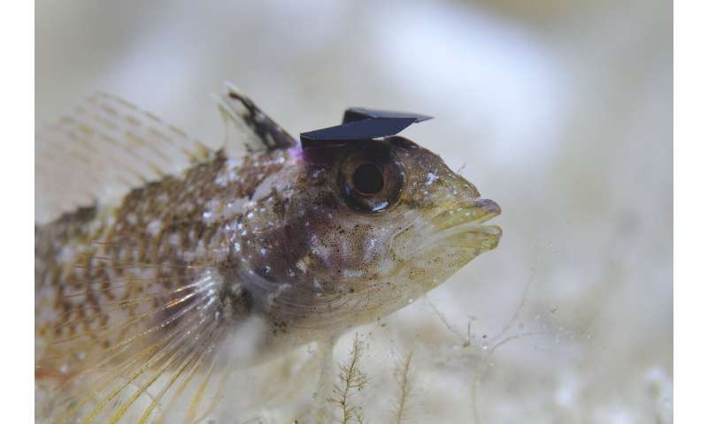 The yellow black-faced triplefin deflects sunlight to break their predator's camouflage