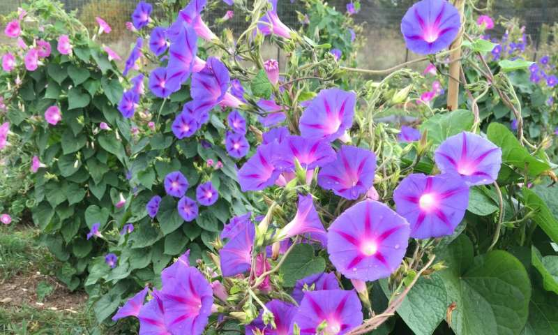 Probing the genetic basis of Roundup resistance in morning glory, a noxious weed