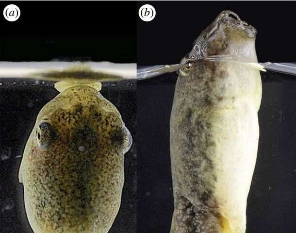 Tadpoles found to create own air bubbles to breathe
