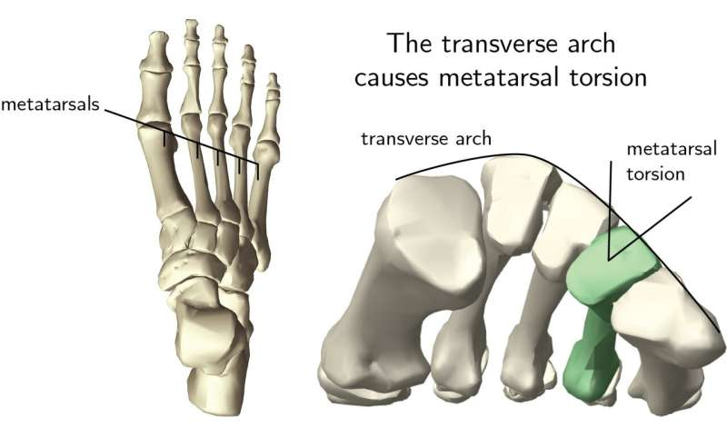 Overlooked arch in the foot is key to its evolution and function