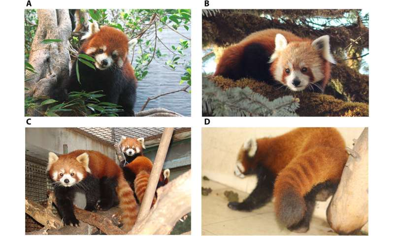 Genetic analysis shows two red panda species