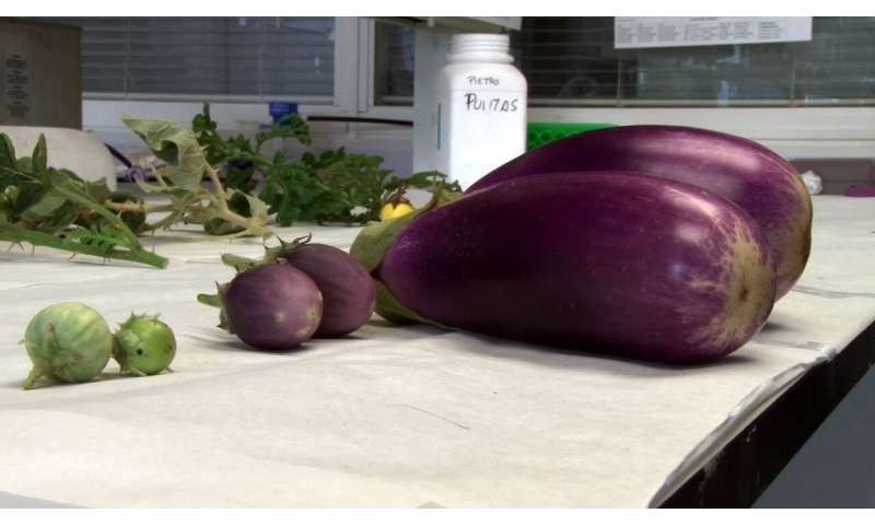 New eggplant varieties resistant to extreme conditions
