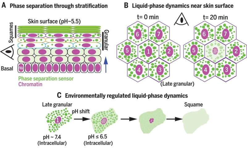 Phase separation problems with proteins in skin found to account for some skin diseases