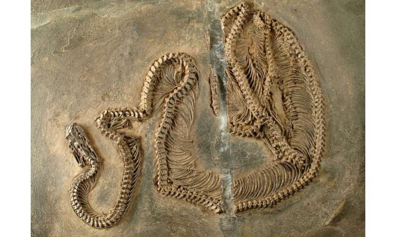 Fossil snake with infrared vision—early evolution of snakes in the Messel Pit examined
