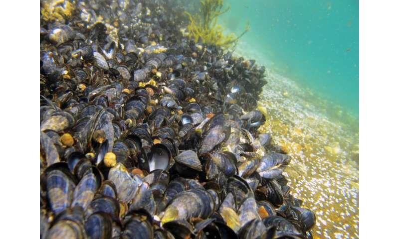 Microplastics found in 4 of 5 bivalve species investigated in Nordic waters