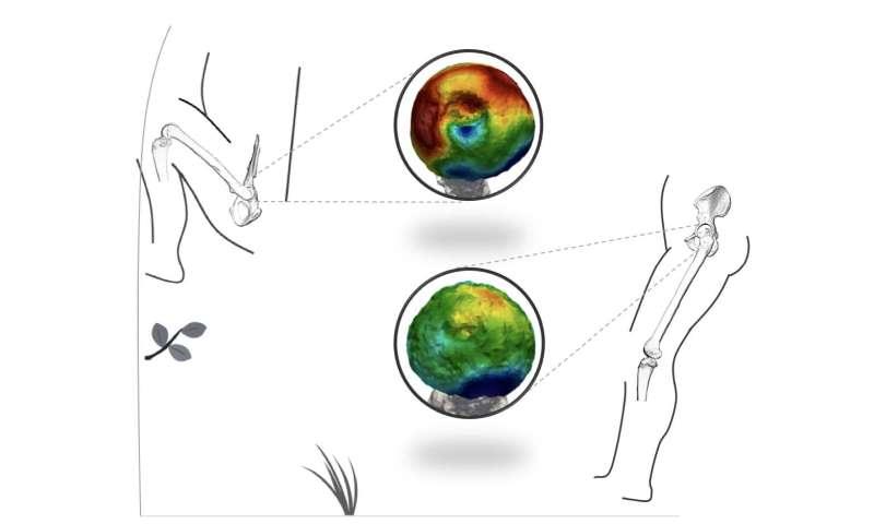 Research identifies regular climbing behavior in a human ancestor
