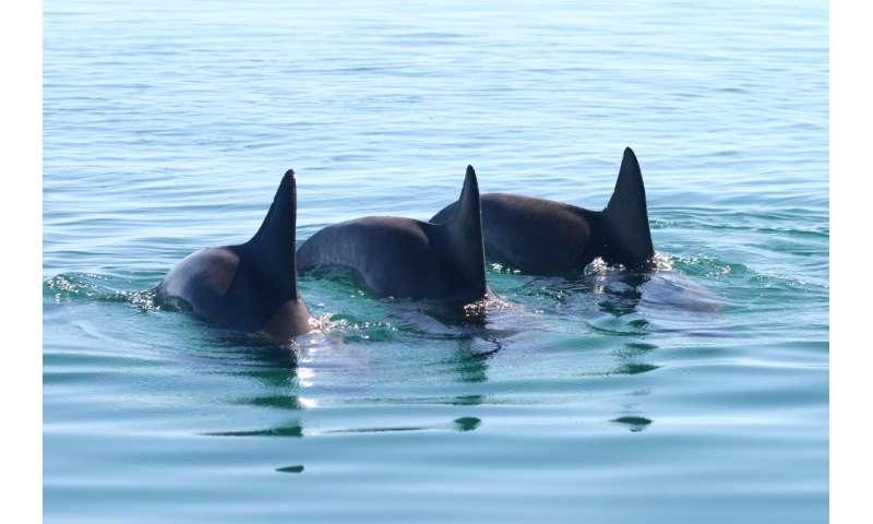 Cooperative male dolphins match the tempo of each other's calls