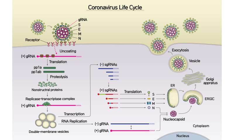New coronavirus (SARS-CoV-2) mapped out