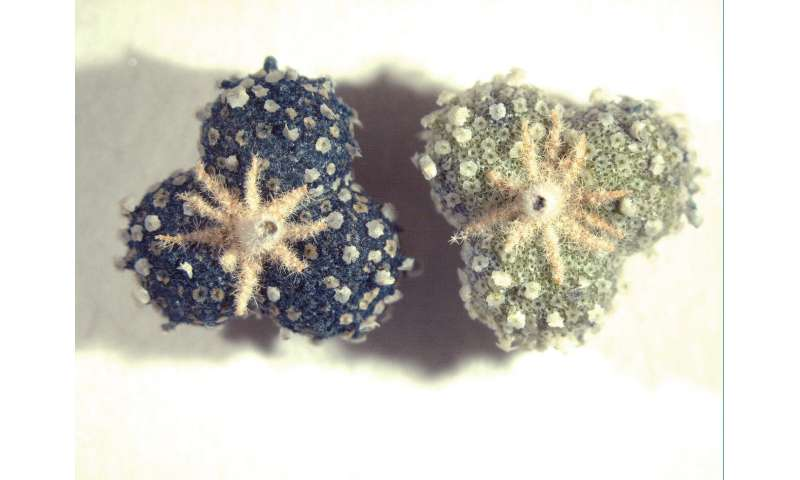 Blue medieval dye's molecular structure identified