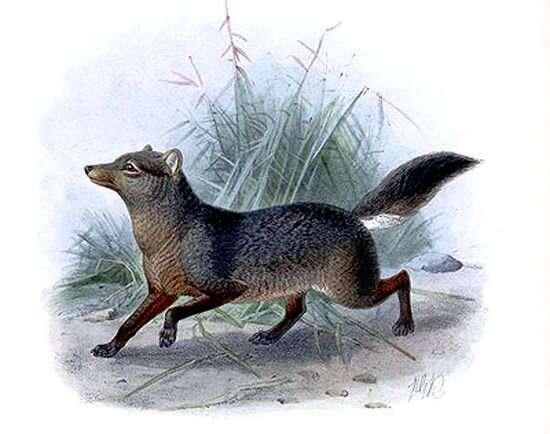 The short-eared dog (Atelocynus microtis)