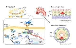 Feeling the pressure: How blood vessels sense their environment