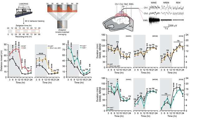 Cell adhesion molecule regulates synapse formation and non‐ REM sleep