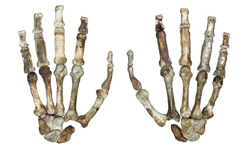 New study records dual hand use in early human relative