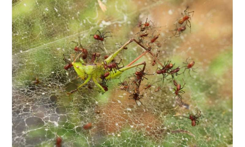 The benefits of being social, from a spider's perspective