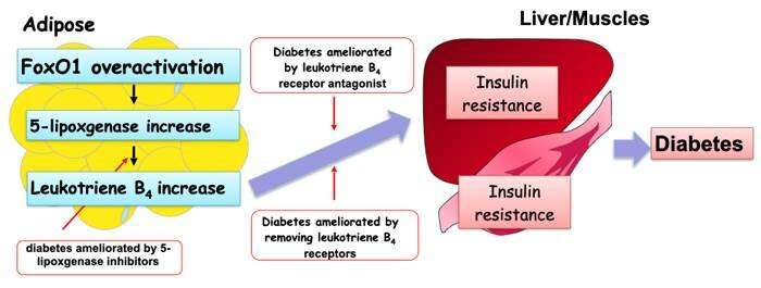 Mechanism underlying the development of diabetes and fatty liver illuminated