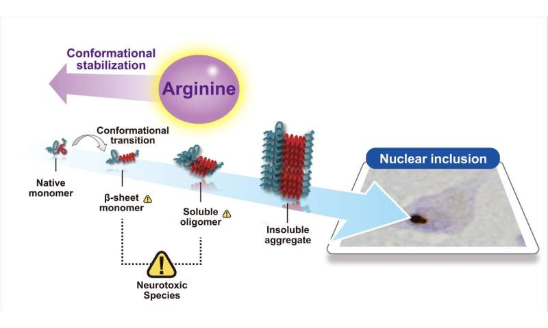 Arginine a potential disease-modifying drug for polyglutamine disease