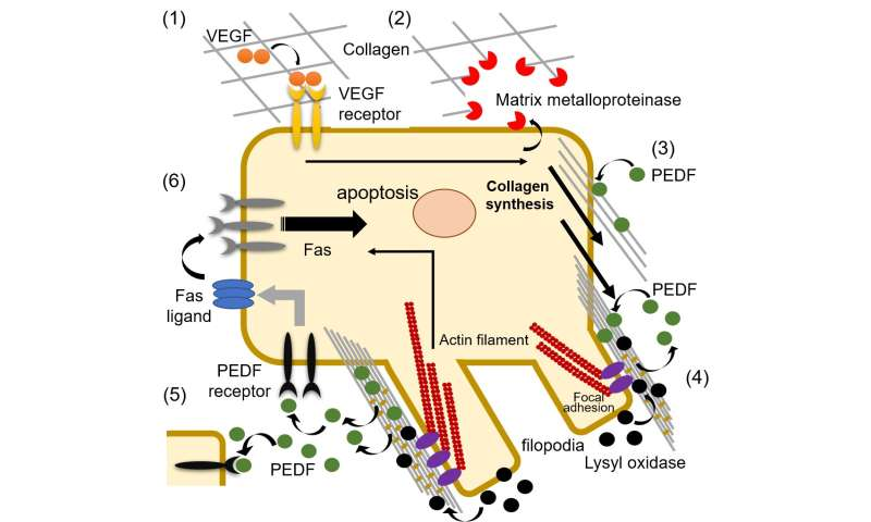 Catch and release: collagen-mediated control of PEDF availability