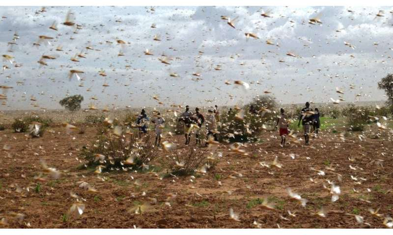 Famine risk for millions in second locust wave