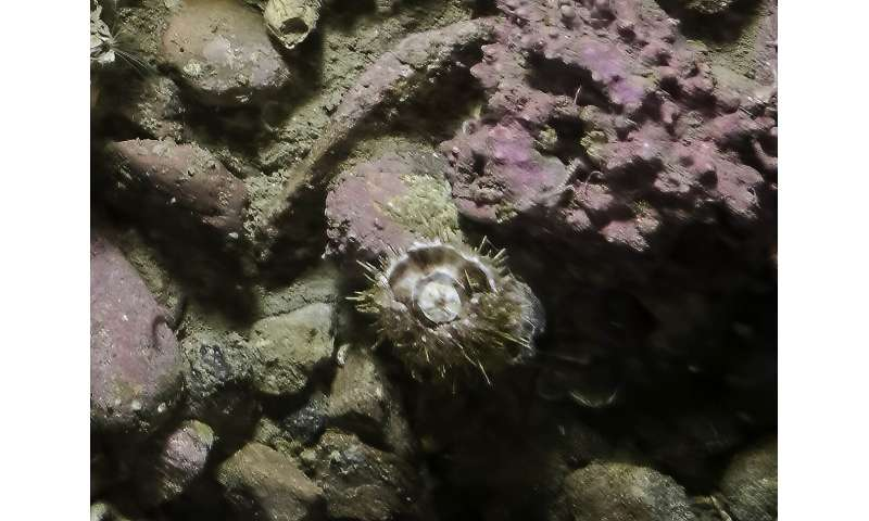 Severely damaged sea urchin shows astonishing resilience