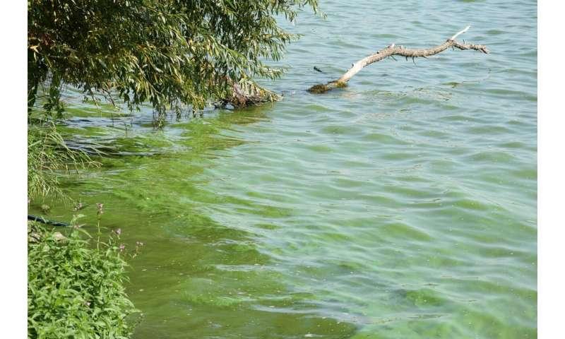 Parasitic fungi keep harmful blue-green algae in check