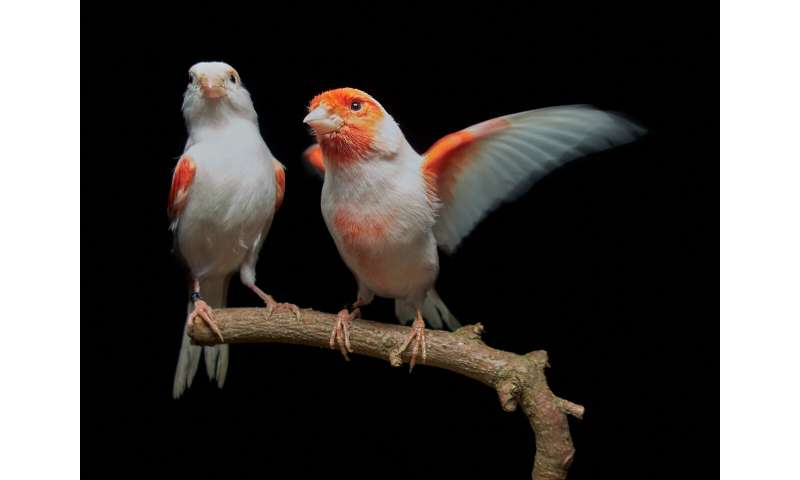 Single enzyme found to be responsible for gender-based plumage color differences in canaries
