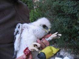Bonelli's eagle: Five steps to stop the death of the most threatened birds of prey due to unnatural causes
