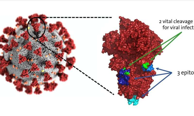 Two potential chinks in the coronavirus's armour