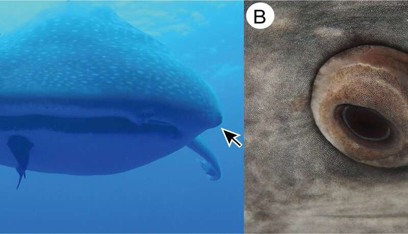 Whale sharks found to have tiny teeth around their eyes