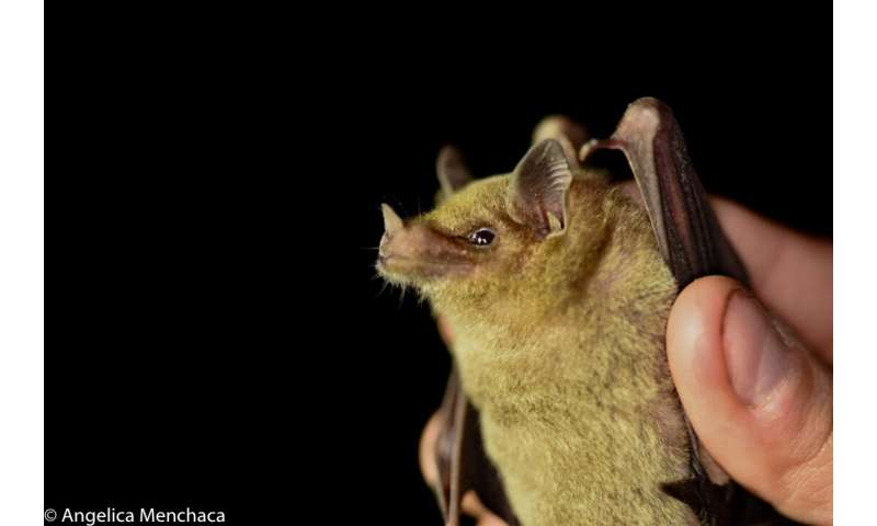 DNA helps conservation of elusive tequila bat