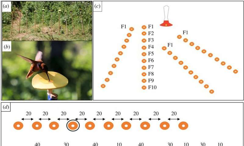 Hummingbirds found able to understand numerical order