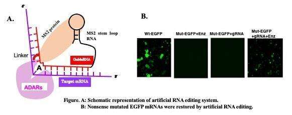Artificial RNA editing with ADAR for gene therapy