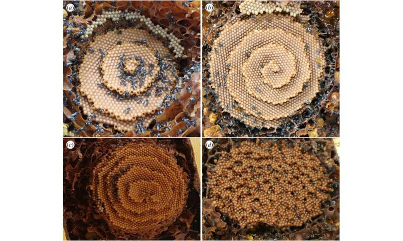 How stingless bees are able to make tall spiral nests