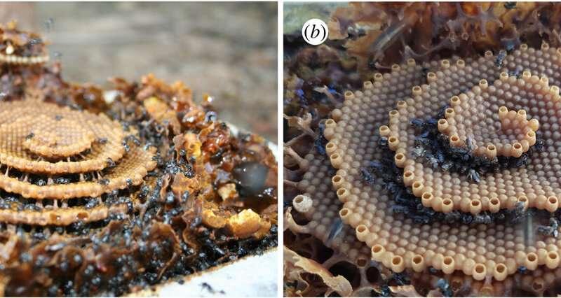 Cómo las abejas sin aguijón pueden hacer nidos espirales altos