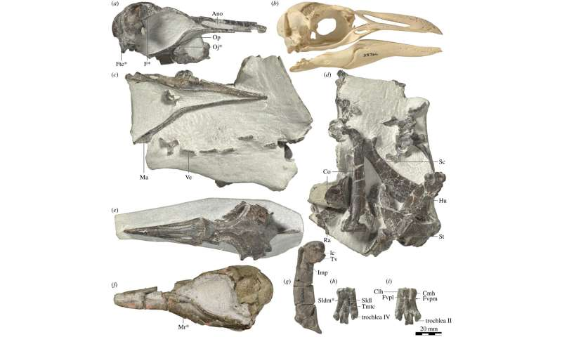 Ancient crested penguin fossil found in New Zealand