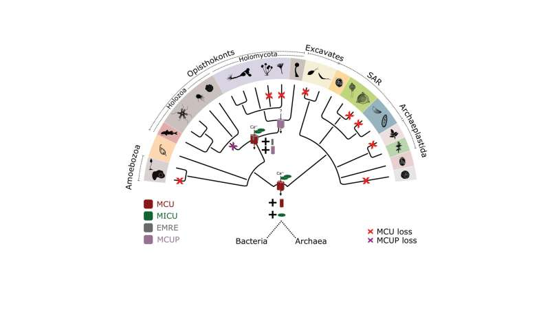 Phylogenetic analysis reveals the evolution of the mitochondrial calcium transporter