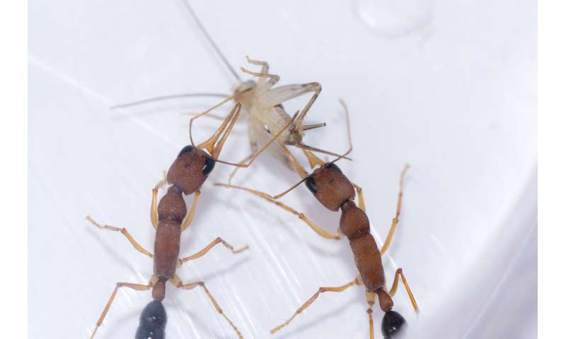 Some Indian jumping ant workers can transition to a queen-like state