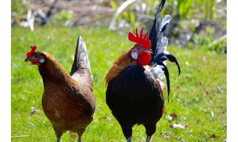 Domesticated chickens have smaller brains