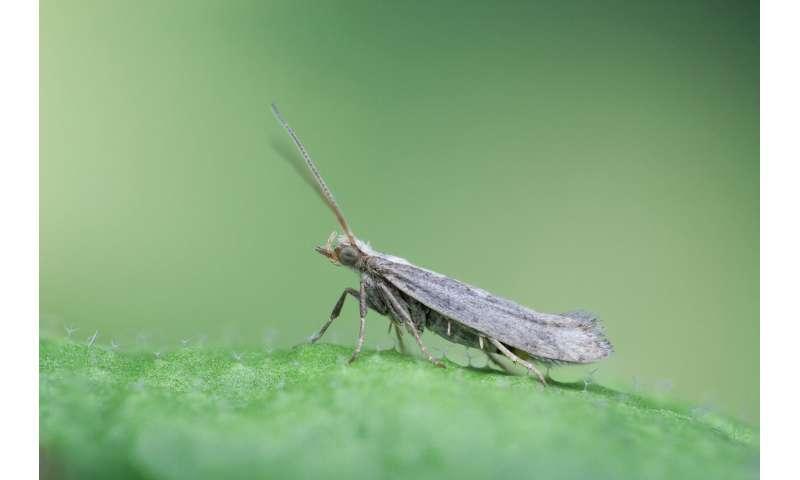 La polilla de espalda de diamante usa sustancias de defensa de las plantas como señales de oviposición