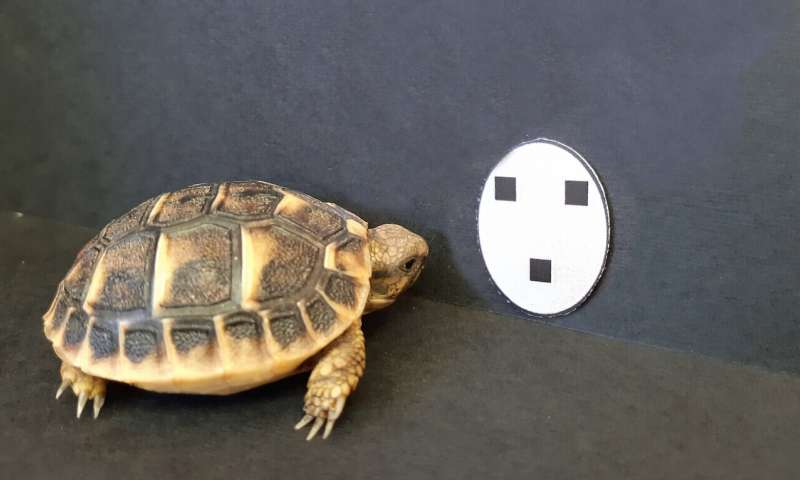 Tortoise hatchlings found to orient toward objects resembling faces