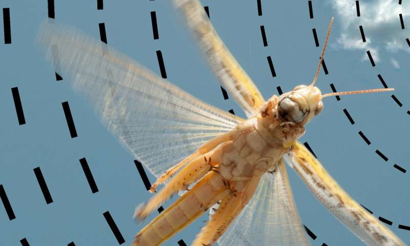 Study shows how sun compass works in the brain of desert locust
