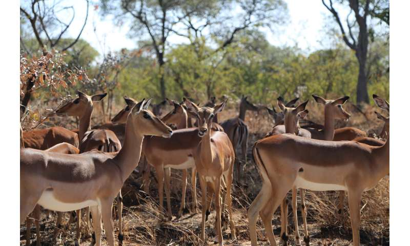Study shows that African herbivores that eat mixed diets or migrate have more stable populations