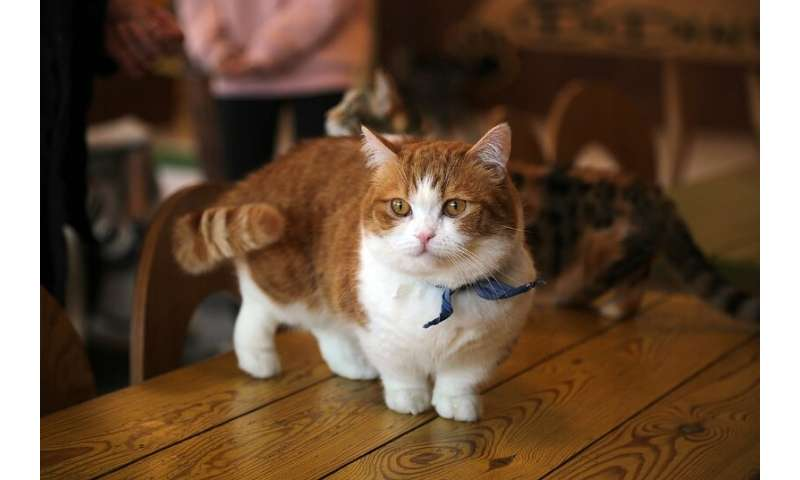 High-quality cat genome helps identify novel cause of dwarfism